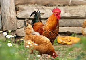 chickens_thm